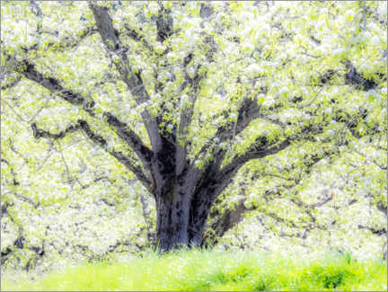 Wood print  Spring blooming apple tree - Sylvia Gulin