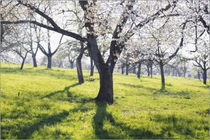 Premium poster Blooming cherry tree in spring