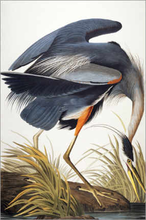 Gallery print  Great Blue Heron - John James Audubon