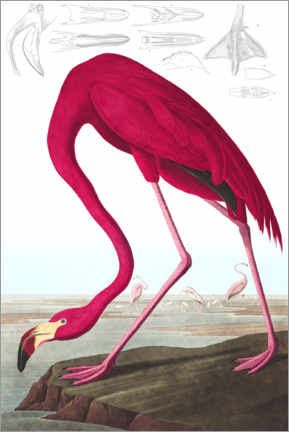 Foam board print  American flamingo, The Birds of America - John James Audubon