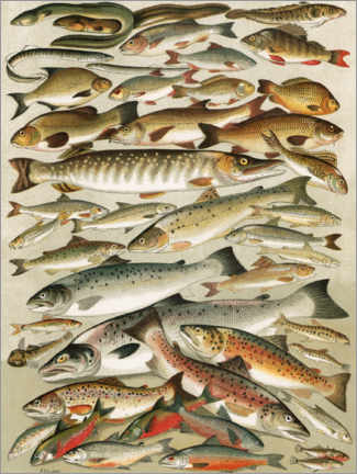 Acrylic print  Our British Fresh Water Fish - English School
