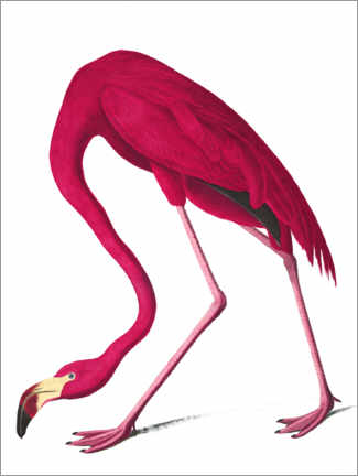 Wall sticker  Cuba flamingo - John James Audubon