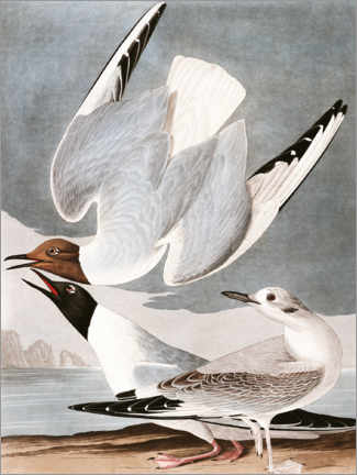 Canvas print  Gulls - John James Audubon