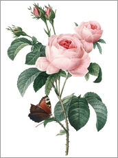 Gallery print  Rose of a Hundred Petals - Pierre Joseph Redouté