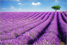 Gallery print  Lavender field and tree - Matteo Colombo