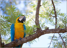 Gallery print  Macaw with yellow breast - Alex Saberi