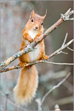 Gallery print  Red squirrel on a branch - Duncan Shaw