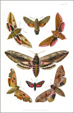 Gallery print  British moths