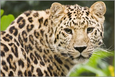 Gallery print  Amur leopard - Power and Syred