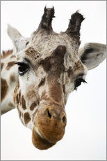 Gallery print  Giraffe - Power and Syred