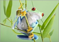 Wall sticker  Red-eyed tree frog - Linda Wright