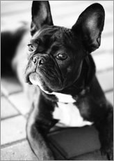 Wall sticker  French Bulldog - Falko Follert
