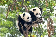 Wall sticker  Young Pandas in a Tree - Tony Camacho