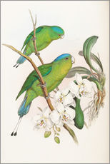 Wall sticker  Philippine Racket tailed Parrot - John Gould