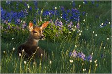 Gallery print  Fawn on alpine flower meadow - Ken Archer