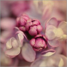 Gallery print  Lilac - Evelyn Meyer