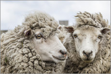 Gallery print  Sheep waiting to be shorn, Falkland Islands - Michael Nolan