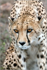 Gallery print  Cheetah on foray, South Africa - Fiona Ayerst