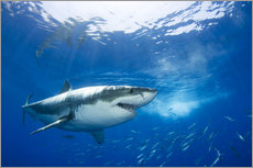 Gallery print  Great white shark in the Caribbean - Dave Fleetham