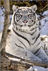 Gallery print  White Bengal Tiger - Chad Coombs