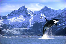 Gallery print  Orca in front of a glacier - John Hyde
