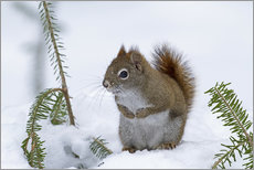 Wall sticker  Red squirrel - Philippe Henry