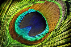 Gallery print  Peacock feather - Mark Ashkenazi