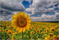 Wall sticker  King of Sunflowers - Achim Thomae