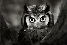 Wall sticker  White-faced Owl perched in a tree - Johan Swanepoel