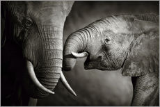 Wall sticker  Baby elephant interacting with Mother - Johan Swanepoel
