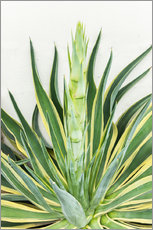Wall sticker  Agave americana