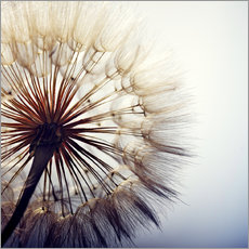 Wall sticker  Dandelion closeup