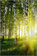 Wall sticker  Birches flooded with light