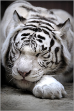 Wall sticker  Sleeping white tiger
