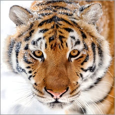 Wall sticker  Siberian tiger in the snow
