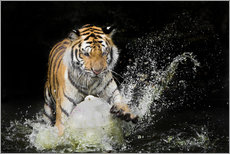 Wall sticker  Tiger Makes the water