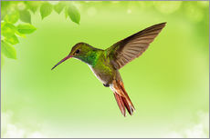 Gallery print  hummingbird