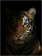 Gallery print  Bengal tiger in the dark night