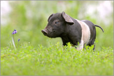 Wall sticker  Little Baby Pig - WildlifePhotography