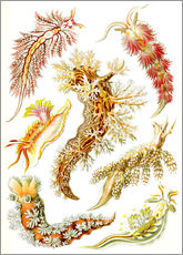 Gallery print  Nudibranches, artistic forms of nature, design 43. - Ernst Haeckel
