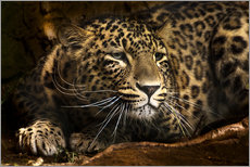 Gallery print  Leopard on the lookout - Edith Albuschat