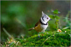 Gallery print  Cute tit standing on the forest ground - Peter Wey