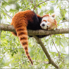 Gallery print  Red panda resting in a tree