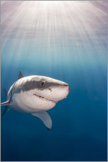 Wall sticker  Great white shark - Dave Fleetham