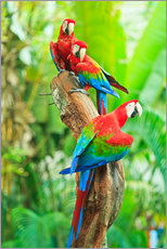Gallery print  Group of Dark Red Macaws