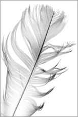 Gallery print  Delicate feather
