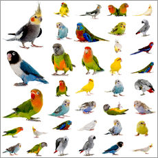 Gallery print  Parrots and parakeets