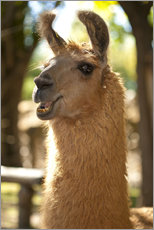 Gallery print  The most photogenic Lama in Padagonia - Chris Seba