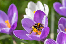 Wall sticker  Spring flower crocus and bumble-bee - Remco Gielen