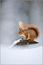 Wall sticker  Eurasian Red Squirrel standing on branch in snow - FLPA